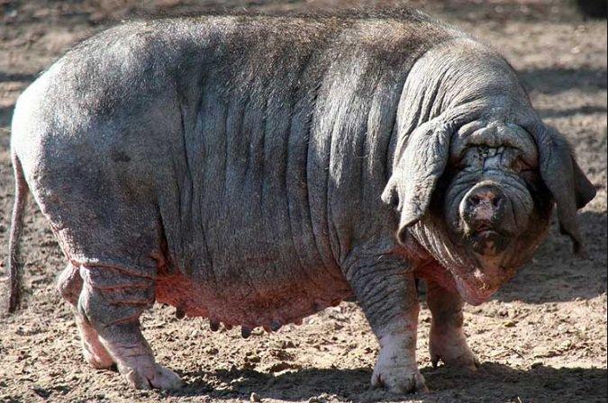 Картинки по запросу свинья мейшан