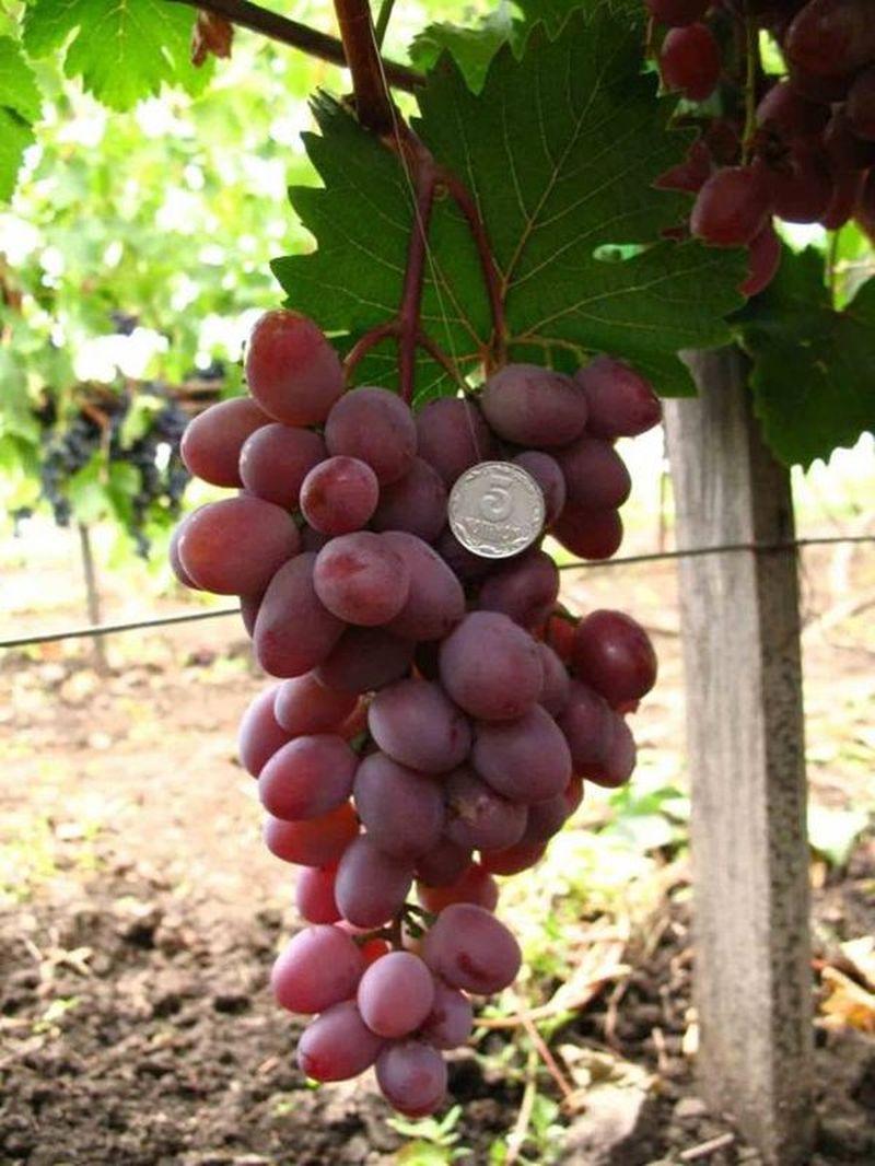 виноград виктория фото описание и характеристика счастью, удалось